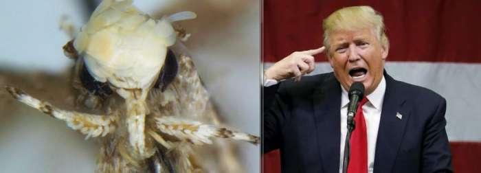 Новый вид моли с золотистыми волосками назвали в честь Трампа