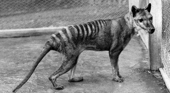 Сенсация: в Австралии обнаружили животное, которое считалось вымершим